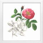 Rose-Essigrose